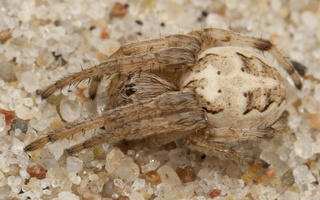 Larinioides cornutus · nendrinis žnypliavoris