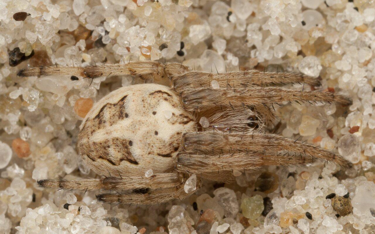 Araneidae-4362.jpg