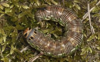 Sphinx pinastri caterpillar · pušinis sfinksas, vikšras