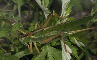 Tettigonia viridissima · žaliasis žiogas