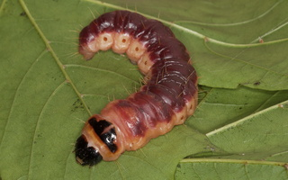 Cossus cossus caterpillar · kvapusis medgręžis, vikšras
