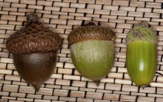 Quercus rubra acorns · raudonasis ąžuolas, gilės
