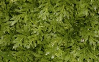 Plagiomnium undulatum · vingialapė lapūnė