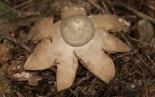 Geastrum fimbriatum · tuščiaviduris žvaigždinas