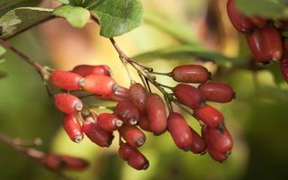 Berberis vulgaris fruits · paprastasis raugerškis, vaisiai