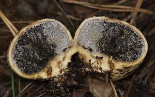 Scleroderma citrinum · paprastoji ankštenė