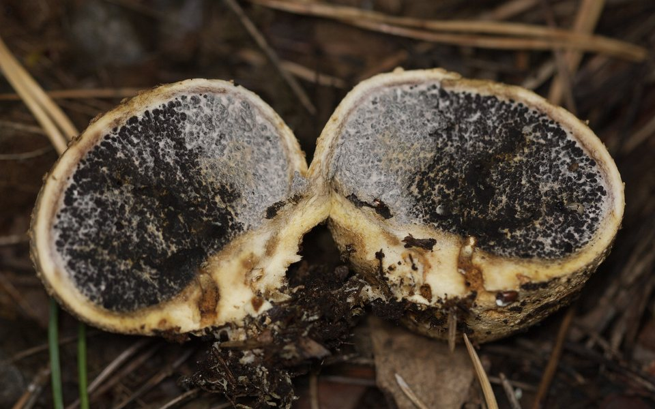 Scleroderma-citrinum-4489.jpg