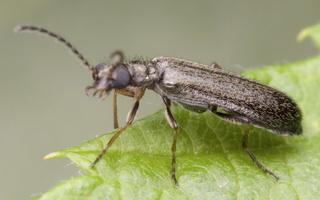 Melyridae · pievavabaliai