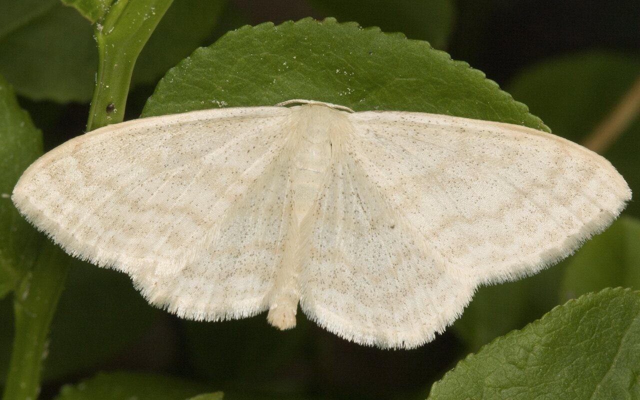Scopula-floslactata-MG-4626.jpg