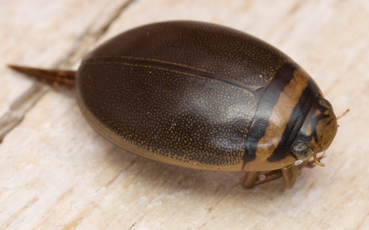 Graphoderus-cinereus-4632.jpg