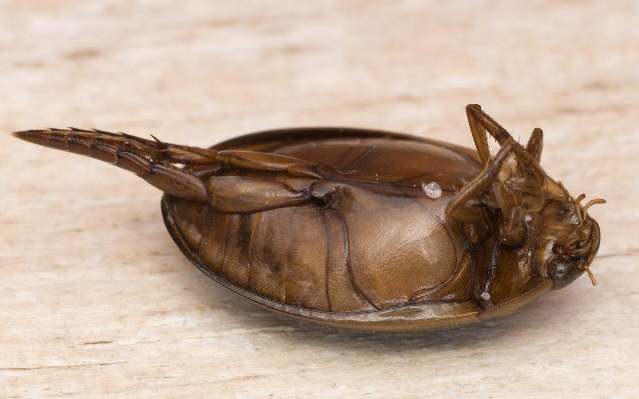 Graphoderus-cinereus-4635.jpg