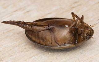 Graphoderus cinereus male · nendriadusė ♂