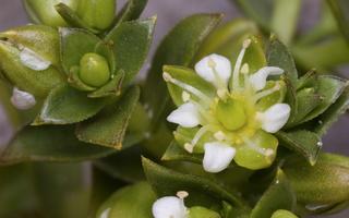 Honckenya peploides · sultingoji jūrasmiltė