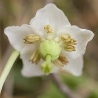 Moneses uniflora · žemoklė