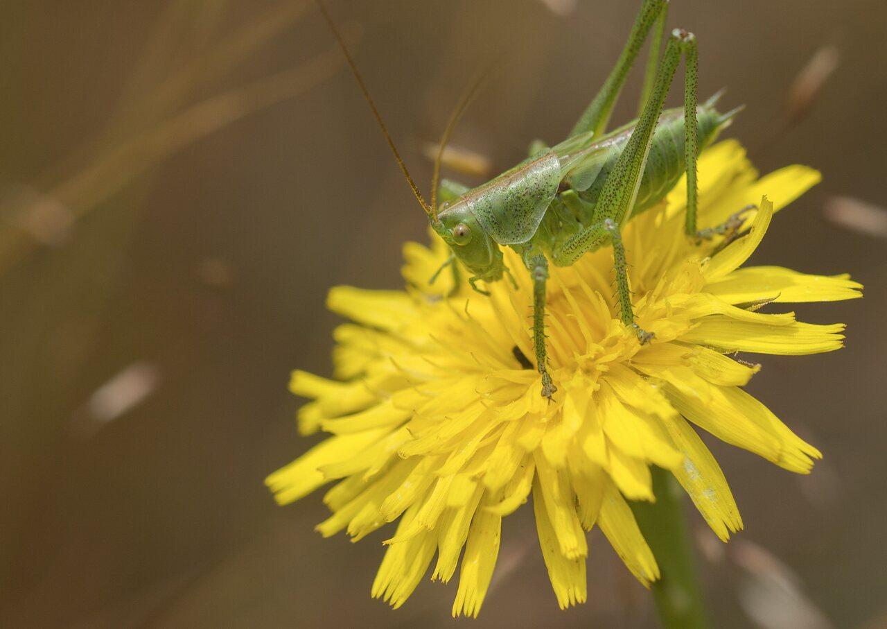 Orthoptera-4676.jpg