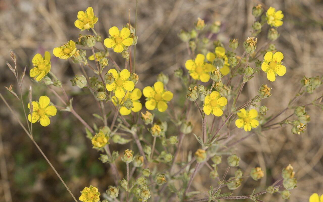 Rosaceae-4681.jpg