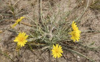 Tragopogon heterospermus · baltijinis pūtelis