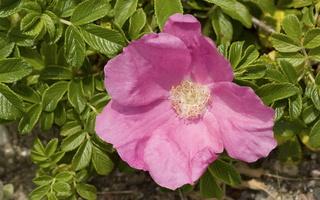 Rosa rugosa · raukšlėtalapis erškėtis