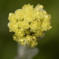 Helichrysum arenarium, inflorescence · smiltyninis šlamutis, žiedynas