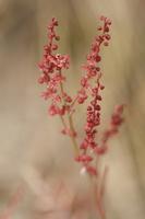 Rumex sp. flowers · rūgštynės žiedai