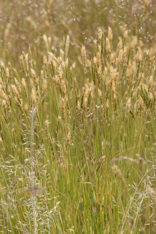 Poaceae-4696.jpg