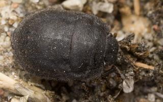 Odontoscelis fuliginosa · paprastoji vėžliablakė