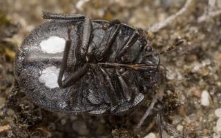 Odontoscelis fuliginosa underside · paprastoji vėžliablakė, apačia