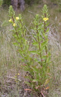 Oenothera biennis ssp. rubricaulis · dvimetė nakviša