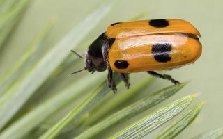 Clytra quadripunctata · keturtaškė klitra