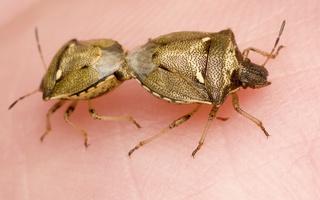 Eysarcoris aeneus mating · baltataškė skydblakė poruojasi