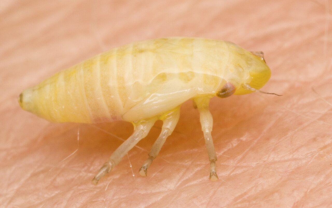 Aphrophoridae-4736.jpg