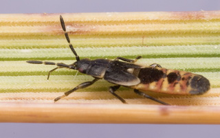 Ischnodemus sabuleti nymph · įvairiasparnė dirvablakė, nimfa
