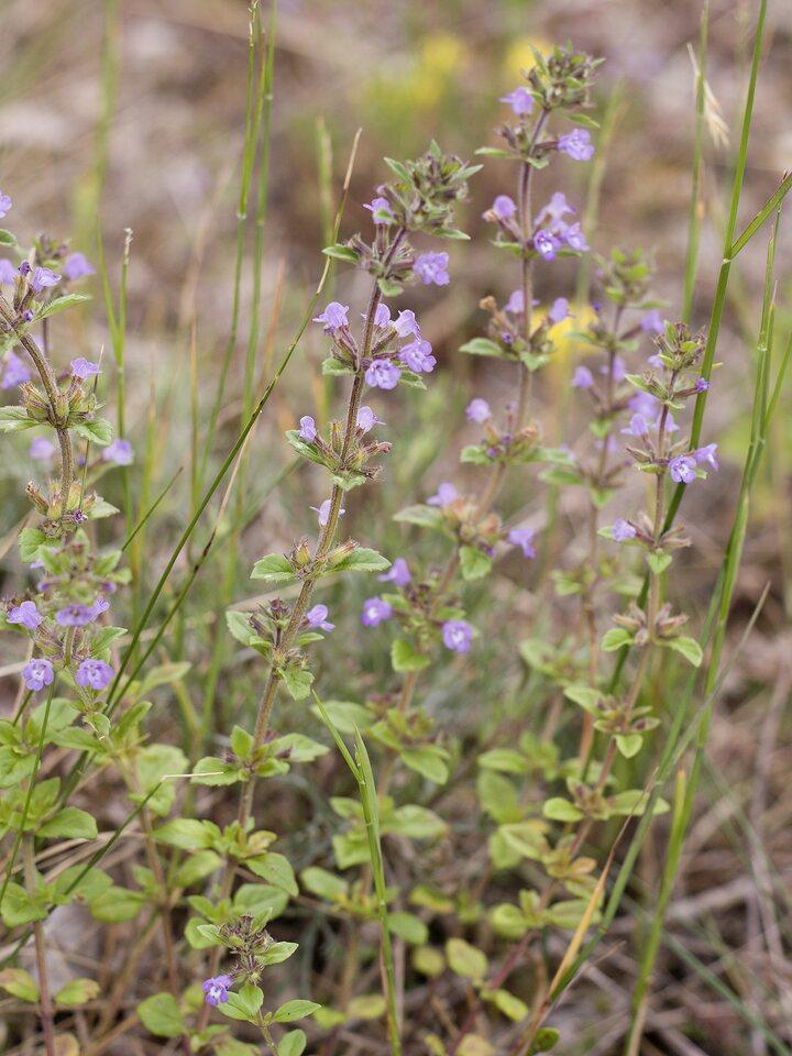 Lamiaceae-4752.jpg