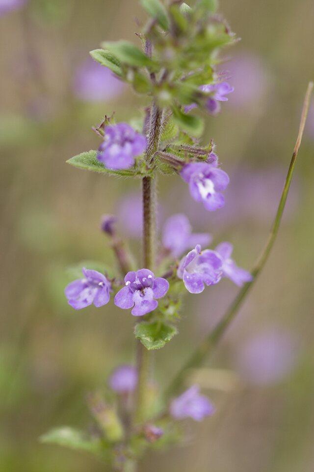 Lamiaceae-4754.jpg