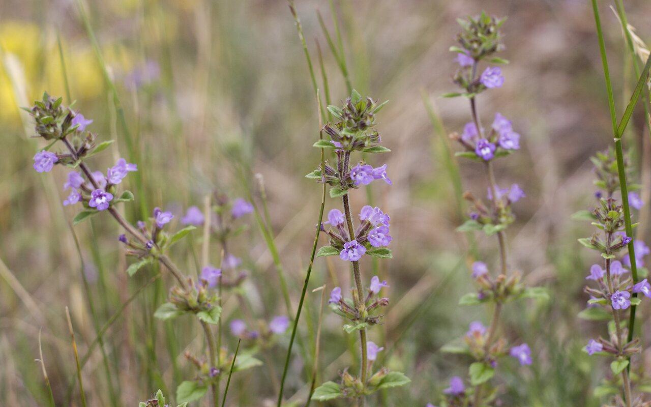 Lamiaceae-4753.jpg