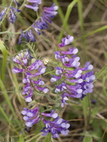 Vicia tenuifolia · smulkialapis vikis
