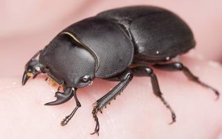 Dorcus parallelipipedus male · platusis elniavabalis ♂