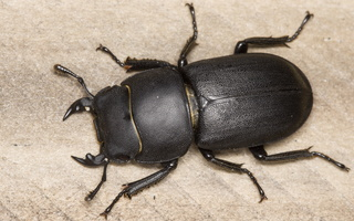Lucanidae · elniavabaliai