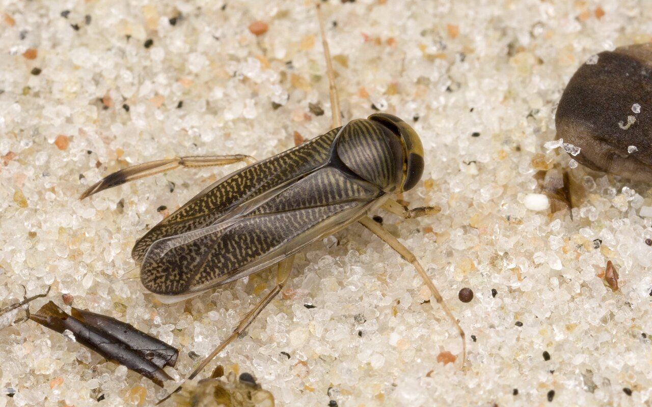 Callicorixa-praeusta-4783.jpg