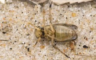 Callicorixa praeusta female · tamsianagė irklablakė ♀