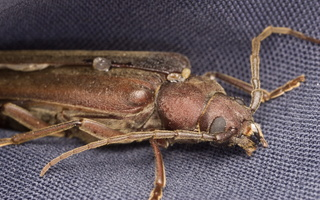 Arhopalus rusticus · rudasis gaisrasekis
