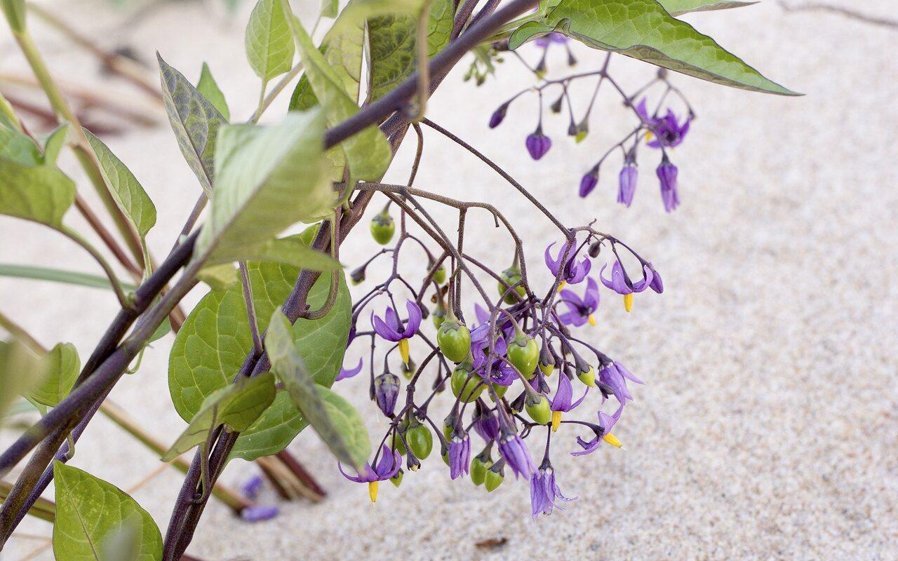 Solanum-dulcamara-4809.jpg