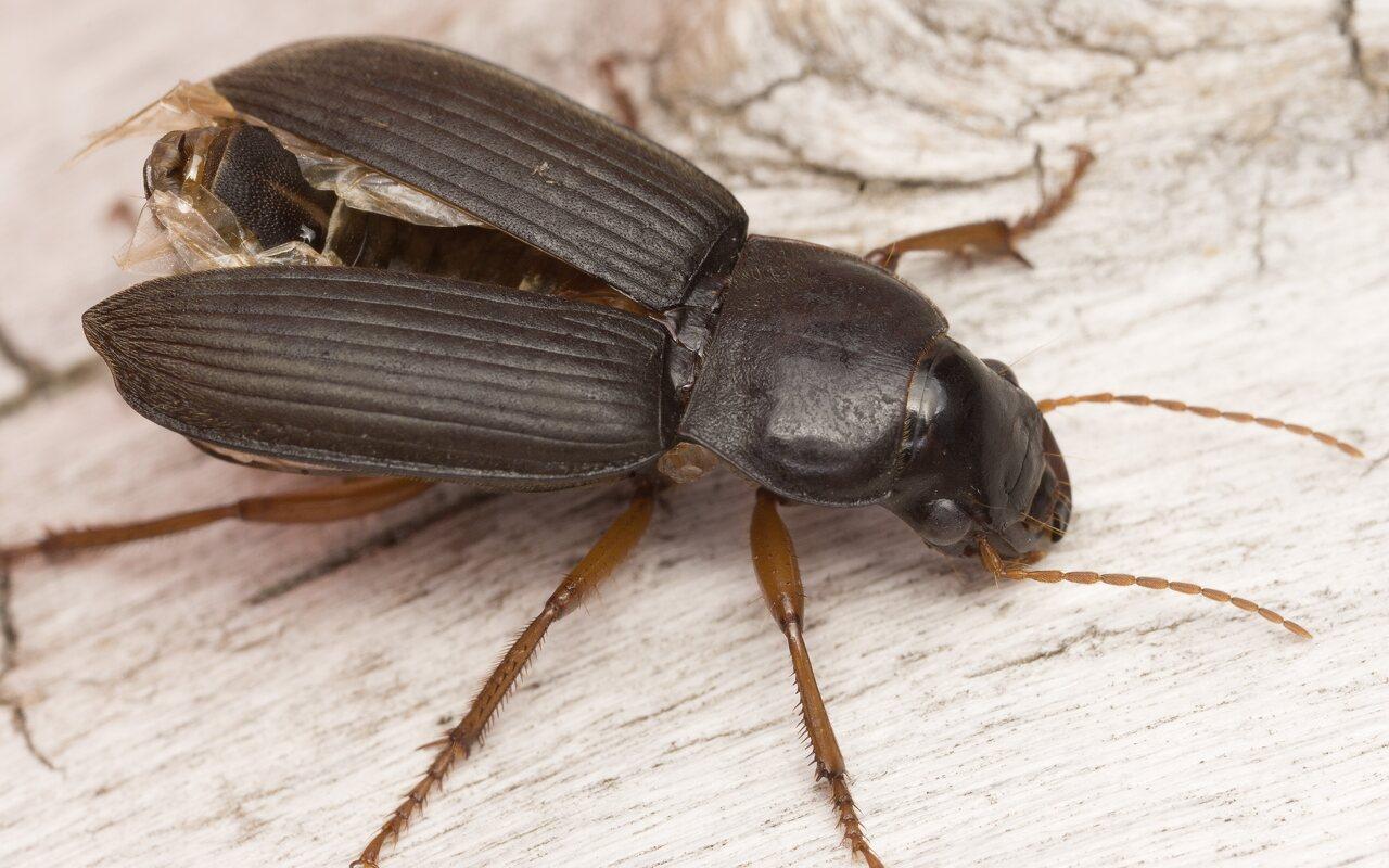 Pseudoophonus-rufipes-4830.jpg
