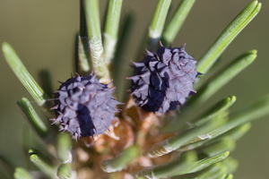 Pinus · pušis