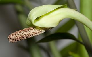 Zamioculcas zamiifolia · pinigų medis