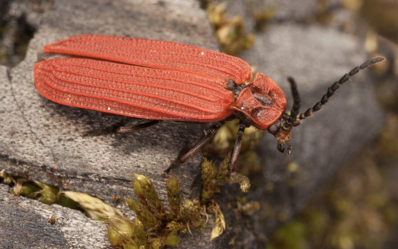 Dictyoptera-aurora-3887.jpg