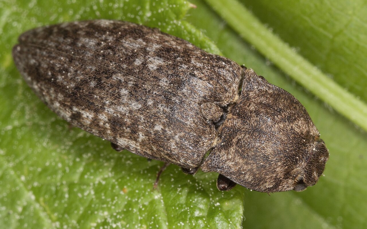 Agrypnus-murinus-3278.jpg