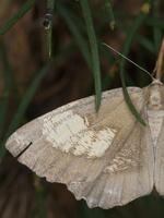 Angerona prunaria  f. corylaria · Slyvinis sprindžius