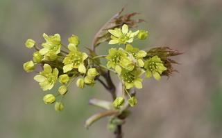 Acer platanoides · paprastasis klevas, žiedynas