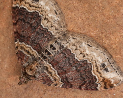 Xanthorhoe spadicearia · rudajuostė cidarija